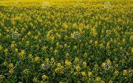 Yellow Flowers Field  15 Hd Wallpaper