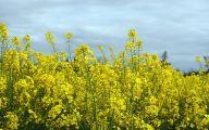 Yellow Flowers Field  16 Free Wallpaper