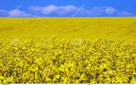 Yellow Flowers Field  17 Widescreen Wallpaper