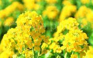 Yellow Flowers Field  18 Desktop Wallpaper