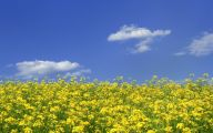 Yellow Flowers Field  19 Cool Wallpaper