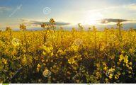 Yellow Flowers Field  22 Wide Wallpaper