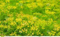 Yellow Flowers Field  23 Desktop Background