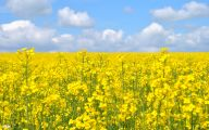 Yellow Flowers Field  26 Wide Wallpaper