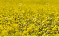 Yellow Flowers Field  27 Cool Hd Wallpaper
