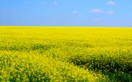 Yellow Flowers Field  28 Cool Hd Wallpaper