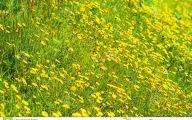 Yellow Flowers Field  29 Cool Wallpaper