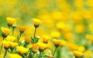 Yellow Flowers Field  31 Wide Wallpaper
