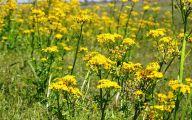 Yellow Flowers Field  32 Desktop Background