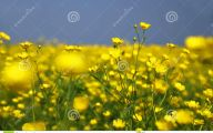 Yellow Flowers Field  4 Background