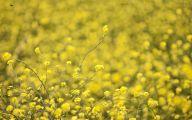 Yellow Flowers Field  6 Wide Wallpaper
