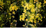 Yellow Flowers In A Dream  38 Wide Wallpaper