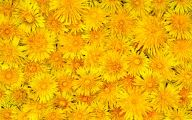Yellow Flowers In Spring  16 Free Wallpaper