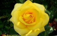 Yellow Flowers Roses  1 Background Wallpaper