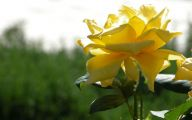 Yellow Flowers Roses  2 Free Hd Wallpaper