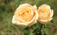 Yellow Flowers Roses  20 Free Wallpaper