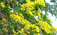 Yellow Flowers Tree  11 Background