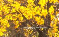 Yellow Flowers Tree  12 Wide Wallpaper