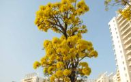 Yellow Flowers Tree  14 Background Wallpaper