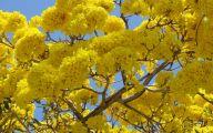 Yellow Flowers Tree  20 Hd Wallpaper