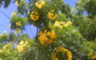 Yellow Flowers Tree  21 Free Hd Wallpaper