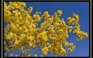 Yellow Flowers Tree  3 Wide Wallpaper