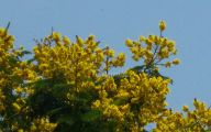 Yellow Flowers Tree  5 High Resolution Wallpaper