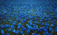 Blue Flowers For Garden  17 Cool Hd Wallpaper
