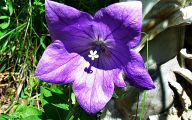 Blue Flowers For Garden  21 Wide Wallpaper