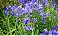 Blue Flowers For Garden  25 Background Wallpaper
