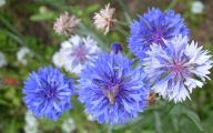 Blue Flowers For Garden  26 Cool Hd Wallpaper