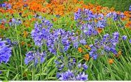 Blue Flowers For Garden  29 Free Hd Wallpaper