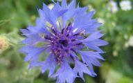 Blue Flowers For Garden  31 Background