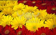 Flowers Red Yellow Blue  29 Wide Wallpaper