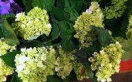Green Hydrangea Flowers  18 Wide Wallpaper