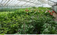 Greenhouse Flowers  25 Wide Wallpaper