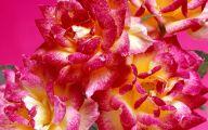 Pink Flowers Rose  10 Desktop Wallpaper