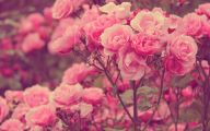 Pink Flowers Rose  13 High Resolution Wallpaper
