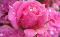 Pink Rose Flowers Images  11 Wide Wallpaper