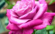 Pink Rose Flowers Images  13 Widescreen Wallpaper