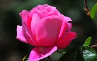Pink Rose Flowers Images  14 Free Wallpaper