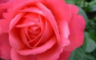 Pink Rose Flowers Images  4 Background Wallpaper