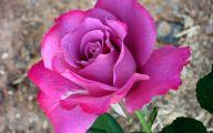 Pink Rose Flowers Images  5 Free Wallpaper