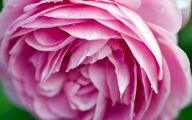 Pink Rose Flowers Images  9 Widescreen Wallpaper