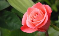 Pink Rose Flowers Wallpapers  1 Background