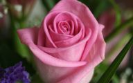 Pink Rose Flowers Wallpapers  12 Background