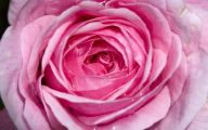 Pink Rose Flowers Wallpapers  14 High Resolution Wallpaper