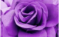 Purple Flowers Roses  16 Background Wallpaper