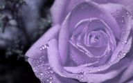 Purple Flowers Roses  22 Free Hd Wallpaper