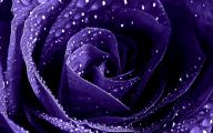 Purple Flowers Roses  5 Hd Wallpaper